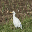 Cattle egret stood in grass - Stock Photo