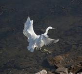 Little egret in flight over water — Stock Photo