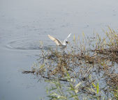 Little egret feeding on riverbank — Stock Photo