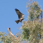 Black kite flying over a tree — Stock Photo
