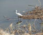 Little egret stood in reeds — Stock Photo