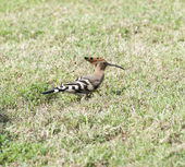 Hoopoe bird in a garden — Stock Photo