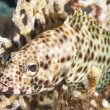 Greasy grouper on a coral reef - Photo