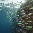 Shoal of red sea fusiliers on a reef - Photo