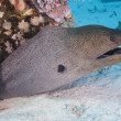 Giant moray eel on a coral reef - Photo