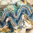 Common giant clam on coral reef - Photo