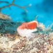 Freckled hawfish on coral reef - Photo