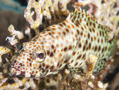 Greasy grouper on a coral reef — Stock Photo