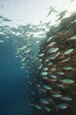 Shoal of red sea fusiliers on a reef — Stock Photo