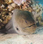 Giant moray eel on a coral reef — Stock Photo