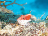 Freckled hawfish on coral reef — Stock Photo