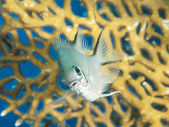 Pale damselfish on a coral reef — Stock Photo