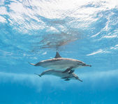 Pair of spinner dolphins underwater — Stock Photo