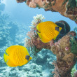 Masked butterflyfish on a tropical reef — 图库照片
