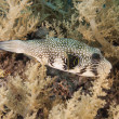 Stock Photo: Whitespotted pufferfish on coral reef