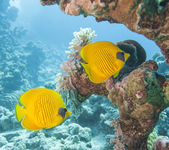 Masked butterflyfish on a tropical reef — Stock Photo