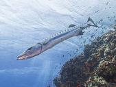Great barracuda on a tropical reef — Stock Photo