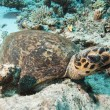 Hawksbill turtle resting on the seabed — Foto de Stock