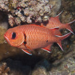 Blotcheye soldierfish on a coral reef — Stock Photo