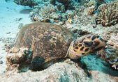 Hawksbill turtle resting on the seabed — Stock Photo