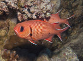 Blotcheye soldierfish on a coral reef — Foto Stock
