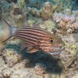 Male tiger cardinalfish on a tropical reef — Foto de Stock