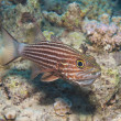 Male tiger cardinalfish on a tropical reef — Stock fotografie