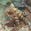Octopus on a coral reef — Stock Photo