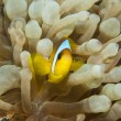 Red Sea anemonefish in an anemone — Stock Photo