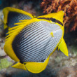 Stock Photo: Blackbacked butterflyfish on coral reef