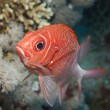 Tailspot squirrelfish on a coral reef — Stockfoto