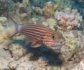 Male tiger cardinalfish on a tropical reef — Stock Photo