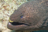 Giant moray on a coral reef — Stock Photo