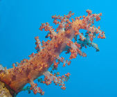 Large soft coral on a tropical coral reef — Stock Photo