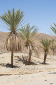 Date palm trees in a desert valley — Stock Photo