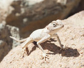 Egyptian desert agama lizard on a rock — Stock Photo