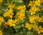 Marsh marigold plant with yellow flowers — Stock Photo