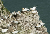 Nesting gannets on a cliff headland — Stock Photo