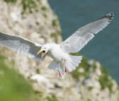 Herring gull seabird in flight — Stock Photo