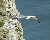Gannet seabird in flight — Stock Photo