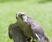 Lanner falcon bird of prey — Stock Photo