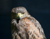 Closeup of harrier hawk — Stock Photo