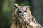 Closeup of european eagle owl — Stock Photo