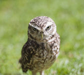 Closeup of burrowing owl — Stock Photo