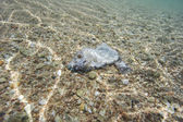 Dead parrotfish in shallow lagoon — Stock Photo