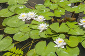 Water lily plant floating in pond — Stock Photo