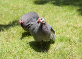 Helmeted guinea fowl on grass — Zdjęcie stockowe