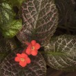 Red Episcia flower - Foto Stock