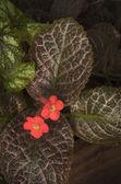 Red Episcia flower — Stock Photo