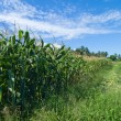 Plantation of Fodder Corn — Stock Photo #13921417
